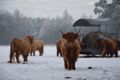 Highlands im Schnee