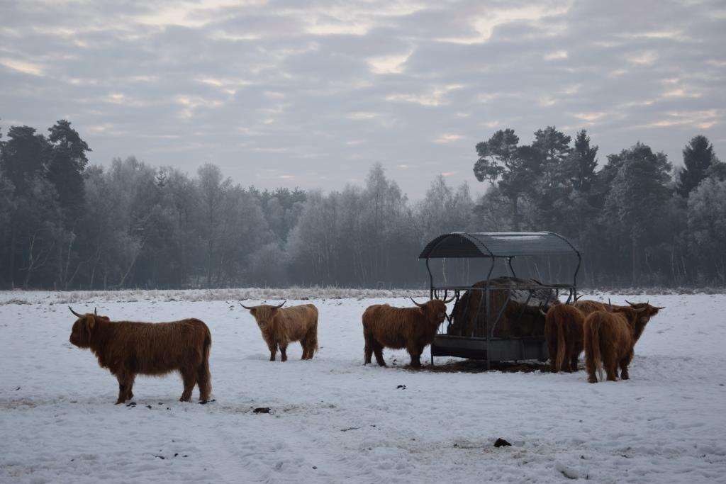Highlands im Schnee (1)