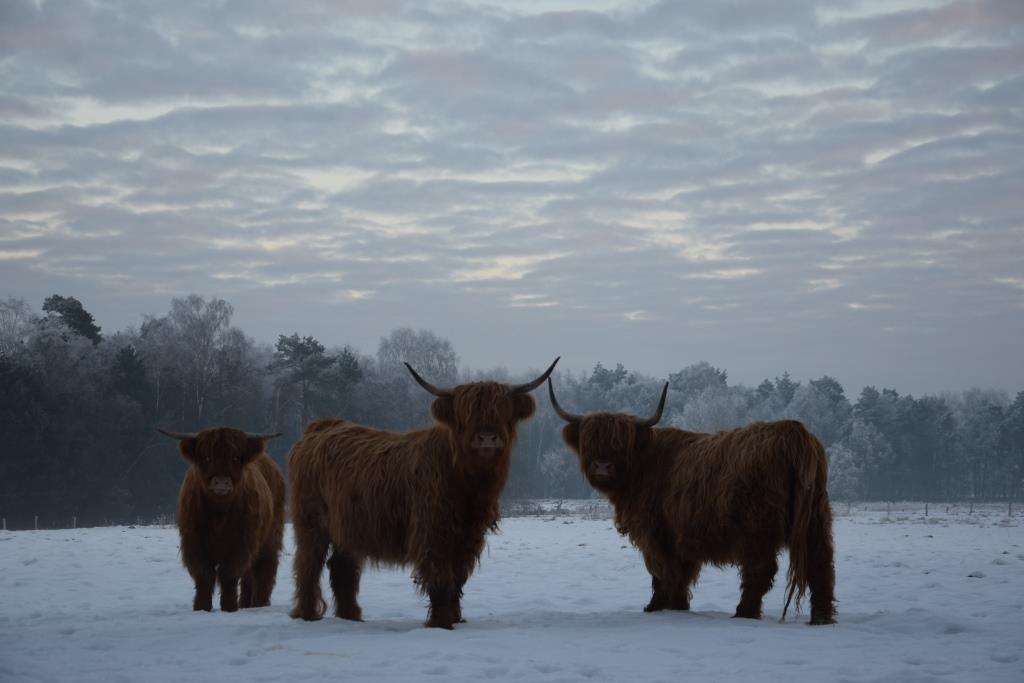 Highlands im Schnee (2)
