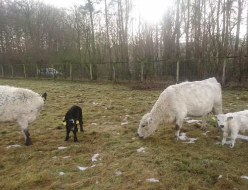 Die White Galloways haben Nachwuchs