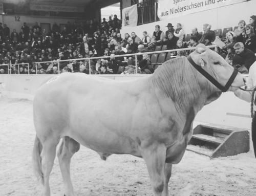 Zuchtbulle Franko auf den Fleischrindertagen in Verden