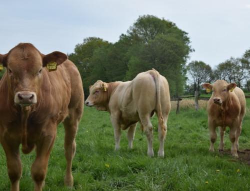 Unsere ersten genetisch hornlosen Blonde d'Aquitaine